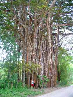 Giant Higueron (Banyan) tree in Cabuya